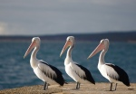 Three Black Pelicans