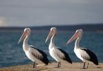 Three Black Pelicans