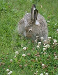 Rabbit in Clover Patch